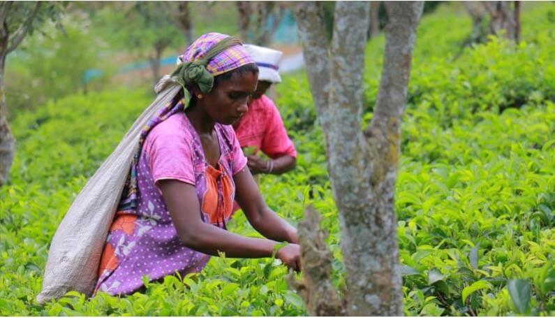 terre d'Oc soutient les cultivatrices de thé à KOTAKITHULA au SRI LANKA.